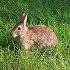 Brown Bunny Rabbit by Stephen D. Miller