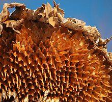 Sunflower Husk  by Jodie Keefe