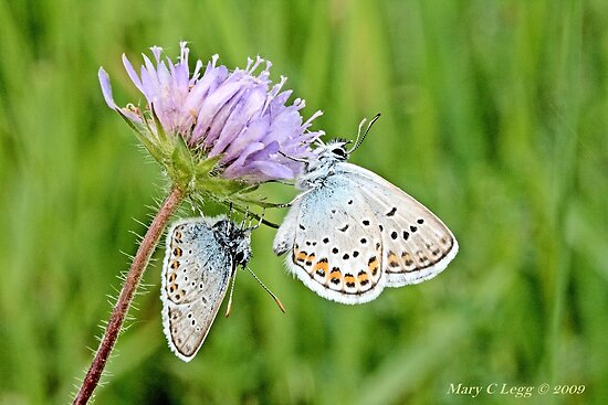 Pair of Silver-studded Blue, Plebejus argus by pogomcl
