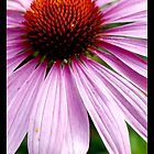 Echinacea by elithenia
