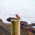 Cornish Robin by Jonathan France