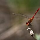 Red Dragonfly by Samuel Gundry