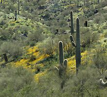 Poppies and Saguaros by Linda Gregory