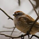 Tree Sparrow by Sean McConnery