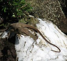 Anole on Pretty White Rock by JeffeeArt4u