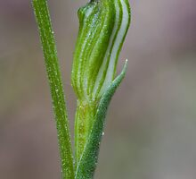 Pterostylis parviflora Red-tip Greenhood by David  Piko