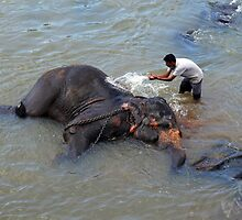 Bath Time At Pinnewala, Sri Lanka. by Ralph de Zilva