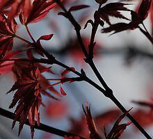 red maple by Tamara Cornell