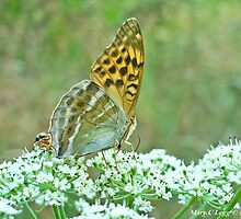 Silver-washed Fritillary, Argynnis paphia by pogomcl