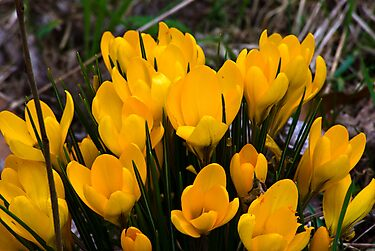Yellow Crocus by Trevor Kersley