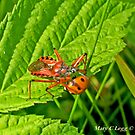 Red Assassin Bug, Rhynocoris iracundus attacks 7spot ladybird by pogomcl