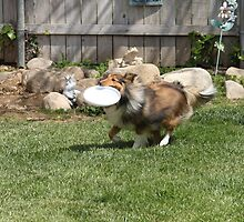 Maggie learning to catch the frisbee..... by DonnaMoore