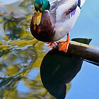 A Duck Admires Itself by Ray Schiel