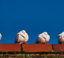 Four Fluffy White Doves  by Susie Peek