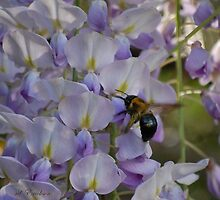 Xylocopinae - Carpenter Bee on wisteria by rd Erickson