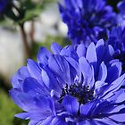 Blue Anemone by Jaymilina
