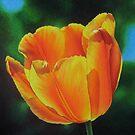 Tulip - Sun on a stem by lanadi