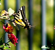 Tiger Swallowtail Butterfly by Anna DeVicariis
