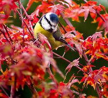Blue Tit in Acer by Geoff Carpenter