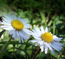 Two pretty sisters by daffodil