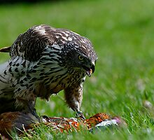 Goshawk (Accipiter gentilis) and Prey by buttonpresser