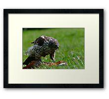 Goshawk (Accipiter gentilis) and Prey Framed Print