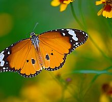 The Butterfly by Mukesh Srivastava