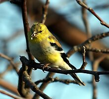 American Goldfinch Eating by KatsEye