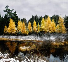 Autumns Final Gold, Larch in Franconia Bog by Wayne King