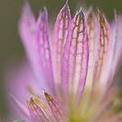 Petal Pink by Sarah-fiona Helme