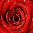 Red Rose Up Close by Claire Tennant