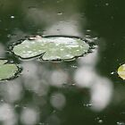 lily pads by Kent Tisher