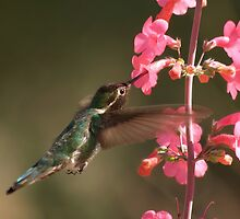 Anna's  Hummingbird with Perry's Penstemon  by Diana Graves Photography