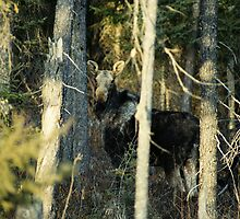 """""""  Cow Moose  """" by fortner"""
