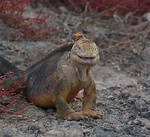 Galapagos Islands: Land Iguana by tpfmiller