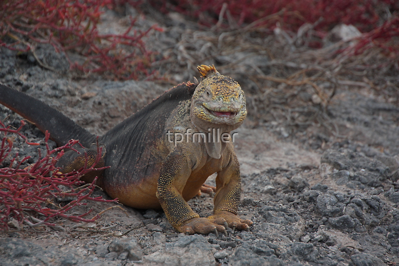 Galapagos Islands: Land Iguana by tpfmiller