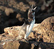 Galapagos Islands: Galapagos Penguin by tpfmiller