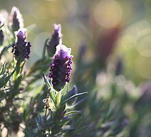 Lavender by Sangeeta