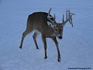 Buck in Evening Searching for Food during Winter by Barberelli