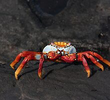 Galapagos Islands: Sally Lightfoot Crab by tpfmiller