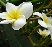 Closeup Frangipani with Natural Garden Background by taiche