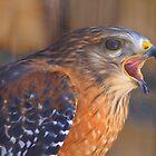Red Shoulder Hawk by Deborah  Benoit