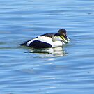 More Eider Ducks - Mr and Mrs by MaryinMaine