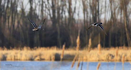Couple Mallard Duck Flying Away by Yannik Hay
