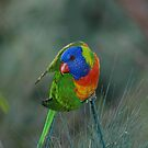 rainbow lorikeet by jim painter