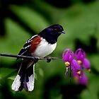 SPOTTED TOWHEE by Debbie  Fontaine