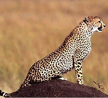 Cheetah on termite mound - Photographed by Kevin Jeffery by Kevin Jeffery