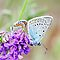 Amandas Blue, plebejus amandus, with Idas Blue in background by pogomcl
