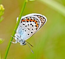 Idas Blue, plebejus idas, male by pogomcl