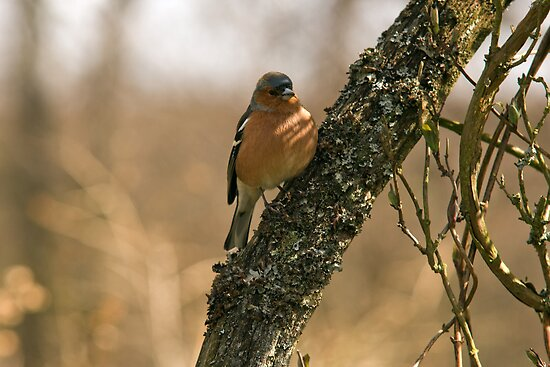Chaffinch in tree by keighley
